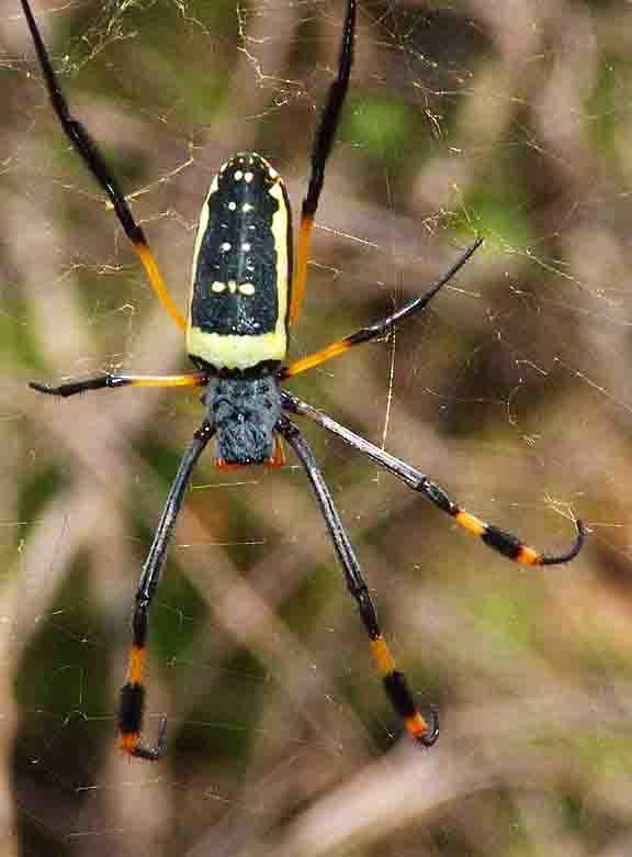 golden-orb-spider-11